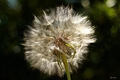 Si!...cosi'...click!!! (kiareimages1) Tags: flowers fleurssauvages light summer soleil images imagery immagini macroflowers macro macrophoto bokeh fondnoir