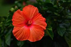 Hibiscus (deanrr) Tags: flower bloom blossom morgancountyalabama alabama nature summer 2017 outdoor plant macro hibiscus hibisqhibiscus hibisq containerplant patioflower orange boldcolor showy