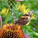 Battle Torn Admiral (Explored) (Cam Miller 2017) Tags: butterfly redadmiral summer echinacea garden