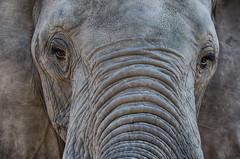 Loxodonta africana (lyn.f) Tags: loxodontaafricana elephant chobenationalpark botswana