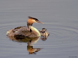 Great crested grebe with young