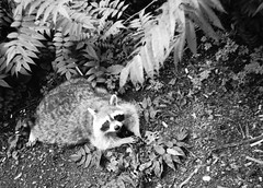 Raccoon at Mont Royal (joelfetzer) Tags: raccoon animal mont royal parc park montreal quebec canada delta 100 ilford minox 35 pl