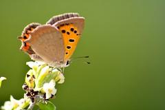 Lycaena phlaeas (jotneb) Tags: natureza lepidoptera animais insectos vidaselvagem borboletas butterfly arlivre portugal verão