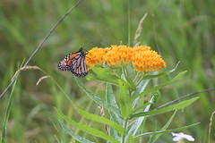 Monarch Butterfly on Butterfly Milkweed (U.S. Fish and Wildlife Service - Midwest Region) Tags: nature sherburne nwr refuge nationalwildliferefuge minnesota mn summer july 2017 wildflower flowers flower flowering bloom blooming blooms plant plants nativeprairie nativeplant milkweed milkweeds butterfly butterflies butterflyweed monarch monarchs adult adults monarchbutterfly monarchbutterflies