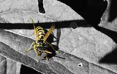 Afternoon Snack (emerge13) Tags: wasp hymenoptera guêpe animal animalia animalworld insectes insects hyménoptères animalplanet avispa