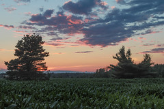 not twin pines (Christian Collins) Tags: canoneos5dmarkiv sunset atardecer cornfield pine pinetree tree evening july 2017 mi midland michigan midmichigan midwest summer verano clouds hazy