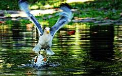 Decollo (Riccardo Orti) Tags: pentaxk5ii pentax55300 gabbiano cocal movimento mosso laghetto giardinopubblico trieste giardinopubblicotommasini decollo volo ali