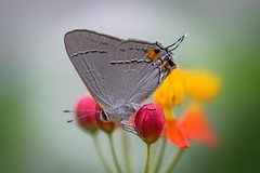 Gray Hairstreak Butterfly (Strymon melinus) (Douglas Heusser) Tags: gray hairstreak butterfly strymon melinus insect arthropod canon macro photography 100mm lens nature wildlife nj new jersey palmyra cove park tropical milkweed pollinator heusser photo wing