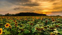 Summer Sunset (WaSz-Fotograf) Tags: ifttt 500px sunrise sunset sun clouds evening fields sundown suset sunrays afterglow golden hour red sky sunray sonnenuntergang cornfield burning sunet apus pink redsky
