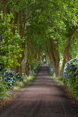 dream alley (maikepiel) Tags: azoren azores islands inseln portugal nature sao miguel landscape landschaft natur grün green alley allee strasse weg way street trees bäume platanen hortensien blumen flowers light licht shadow schatten leafs blätter