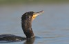 MRC_2691 Cormorant (young?) Portrait (Obsies) Tags: cormorant water hidrohide closeup portrait wildlife pond birds d500 200400vr nikon sunlight