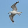 Caspian Gull (Larus cachinnans) (TG23-Birding in a Box) Tags: flying caspiangull laruscachinnans gull gulls cromer norfolk uk