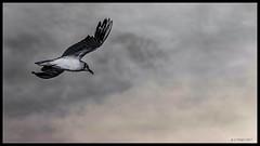 Vol de la mouette (o.penet) Tags: honfleur nikon details colours reflections birds seagulls sky flash flying