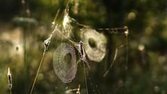 Two traps (pszcz9) Tags: polska poland przyroda nature natura bokeh roztocze pajęczyna spiderweb zbliżenie closeup beautifulearth sony a77 samyang
