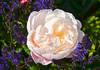 140519 rscN 170801 © Théthi - 8 pics (thethi (pls, read my first comment, tks a lot)) Tags: nature fleur rose sauge salvia mai parfum namur wallonie belgique belgium setmai setflowers setnamurcity setmorethan20fvs20142015 bestof2014 setvosfavorites faves55