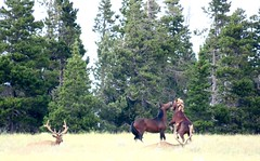 Harmony in Big Meadow (prairiegirrl) Tags: wildhorses elk greenmountain wyoming