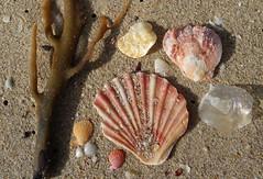 Windang beach (Celeste33) Tags: windang sand shells scallops jingleshells beach