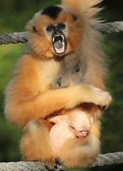 yellow cheeked gibbon artis BB2A8959 (j.a.kok) Tags: gibbon mammal monkey mensaap artis asia azie goudwanggibbon yellowcheekedgibbon zoogdier dier animal aap ape nomascusgabriellae