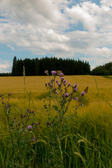 love my motherland (Joachim Krawitsch) Tags: afternoon bright motherland home corn exploding life nature thistle bees butterfly food inexplore black green forest blue clouds sky white yellow field joachimkrawitsch pov