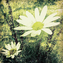 198/365 (Jane Simmonds) Tags: iphone multipleexposure flowers abstract daisies 198365 3652017 summer garden