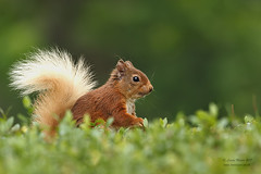 Red Squirrel Highlands (Louise Morris (looloobey)) Tags: aq7i6366 redsquirrel sciurrusvulgaris highlands scotland july2017 neilmcintyre gordonrae bob val outside wild hideless
