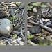 Le nid des kildirs/ The Killdeer nest