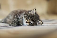 Mathéo (MJC.Photography) Tags: cat cats chat chats chaton puppy babycat