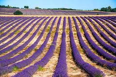 Couleur lavande (PierreG_09) Tags: alpesdehauteprovence lavande lavandin ラベンダー 薰衣草 lavender laventeli lavanda lavendel izpilikua λεβάντα