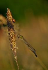 Friends (Graeme Andrews) Tags: macro 100mmf28wrmacro insectmacro insectsofbritain damselfly ladybird
