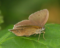 2017_07_0273 (petermit2) Tags: ringletbutterfly ringlet butterfly sprotbrough doncaster southyorkshire yorkshire