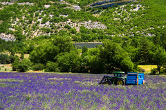 Couleur lavande (PierreG_09) Tags: alpesdehauteprovence lavande lavandin ラベンダー 薰衣草 lavender laventeli lavanda lavendel izpilikua λεβάντα vaucluse drôme sault aurel