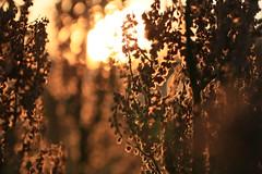 Flowering sorrel at sunset (Pascal Volk) Tags: berlin lichtenberg landsbergerallee sunset sundown sonnenuntergang ocaso macro makro 105mm closeup nahaufnahme macrodreams bokeh dof depthoffield natur nature naturaleza pflanze plant planta blume flower flor blüte blossom bloom floral flowerpower wiesensauerampfer grosersauerampfer sauerampfer sauerlump blacke rumexacetosa sorrel gardensorrel spinachdock acederacomún vinagrera canoneos6d sigma105mmf28exdgoshsmmacro 7dwf