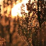 Flowering sorrel at sunset thumbnail