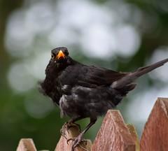 Black bird on his guard. (padge83) Tags: nikon d5300 macro bird bokeh westyorkshire garden