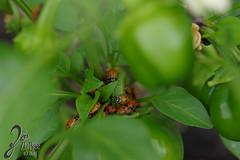 Macro-LadyBugs_243 (ZieBee Media) Tags: ladybug garden