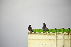 After the rain برسات کان پوءِ (channa.razaque) Tags: pigeon rain canon canon6d water green love feeling look smile eyes clouds house hyderabad birds happiness evening