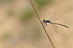 Libélula (C.Frayle) Tags: macrodays macrofotografía macro libélula insectum insecto dragonfly nature naturaleza nikon airelibre стрекоза ドラゴンフライ التنين الطيران odonata paleóptero animal