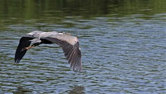 The Great Blue (Jeannine St. Amour) Tags: heron bird greatblueheron nature wildlife