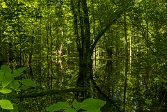 Greens (Matt Champlin) Tags: swamp green reflection summer beautiful lush mosquitoes cny biking mountainbiking howlandisland montezuma canon 2017