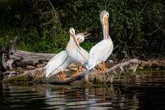 Resting Pelicans (Terry L Richmond) Tags: pool bird wildlife water animal lake beak nature noperson wild waterfowl pelican feather outdoors neck flight alberta pinelake pelicans resting rest notflying canon6d canon100400mm