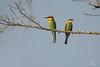 Chestnut-headed Bee-eater (Ben Locke.) Tags: chestnutheadedbeeeater beeeater bird birds wild wildlife nature srilanka