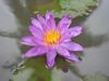 Nymphaea 'Turtle Island Violicious' ISG (HxT) Water Lily Klong15 001 (Klong15 Waterlily) Tags: turtleisland violiciouswaterlily thailandwaterlily isgwaterlily intersubgenericwaterlily purplewaterlily hxtwaterlily nymphaea