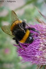 Hummel / Bumblebee (R.O. - Fotografie) Tags: hummel bumblebee insekt insect natur nature bokeh distel thistle nahaufnahme closeup close up panasonic lumix dmcfz1000 dmc fz1000 fz 1000 rofotografie nieheim nrw