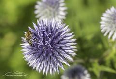 Neuer Botanischer Garten, Marburg, Hessen (Bianchista) Tags: 2017 bianchista blumen botanischergarten flowers makro marburg sommer hessen germany vespe wespe