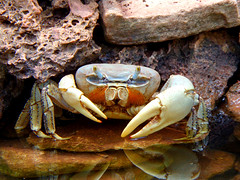 Crab (llocin) Tags: crab nature water animal colour color