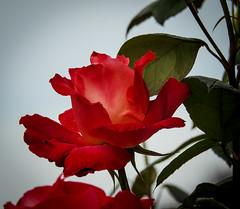 Rose by Patty Herring (randyherring) Tags: neighborhood california spring flowers rose nature ca afternoon springflowers outdoor bloom flora elkgrove suburban