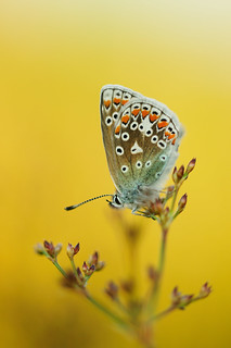 Another Common Blue...