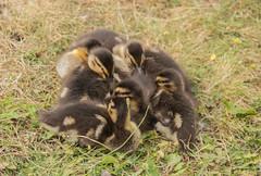 Pile of fluff (Yvonne L Sweden) Tags: fluffy fågelungar fluff andungar sommar duckling sweden änder duck ungar fågel