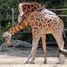 giraffe amersfoort BB2A4851