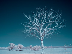Dead tree near Denman (i-lenticularis) Tags: australia denman ircolor irprocessed nsw ricohgxra12ir zm25f28 gumtree landscape magpie rural